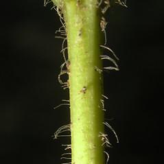 Stems: Veronicastrum virginicum. ~ By Bruce Patterson. ~ Copyright © 2020 Bruce Patterson. ~ foxpatterson[at]comcast.net