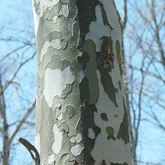 Bark: Platanus occidentalis. ~ By Arthur Haines. ~ Copyright © 2021. ~ arthurhaines[at]wildblue.net