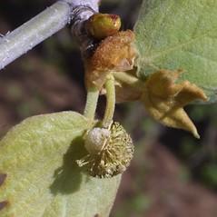Flowers: Platanus occidentalis. ~ By Steven Baskauf. ~ Copyright © 2020 CC-BY-NC-SA. ~  ~ Bioimages - www.cas.vanderbilt.edu/bioimages/frame.htm