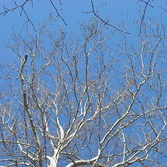 Plant form: Platanus occidentalis. ~ By Arthur Haines. ~ Copyright © 2020. ~ arthurhaines[at]wildblue.net