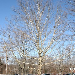 Plant form: Platanus occidentalis. ~ By Arieh Tal. ~ Copyright © 2020 Arieh Tal. ~ http://botphoto.com/ ~ Arieh Tal - botphoto.com