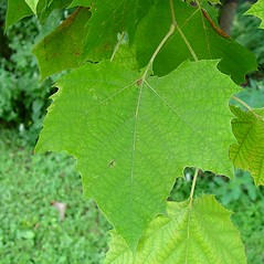 Leaves: Platanus occidentalis. ~ By Arthur Haines. ~ Copyright © 2020. ~ arthurhaines[at]wildblue.net