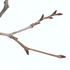 Winter buds: Platanus occidentalis. ~ By Arieh Tal. ~ Copyright © 2020 Arieh Tal. ~ http://botphoto.com/ ~ Arieh Tal - botphoto.com