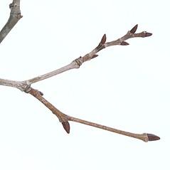 Winter buds: Platanus occidentalis. ~ By Arieh Tal. ~ Copyright © 2021 Arieh Tal. ~ http://botphoto.com/ ~ Arieh Tal - botphoto.com