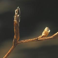 Fruits: Limonium carolinianum. ~ By Bruce Patterson. ~ Copyright © 2020 Bruce Patterson. ~ foxpatterson[at]comcast.net