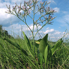 Plant form: Limonium carolinianum. ~ By Marilee Lovit. ~ Copyright © 2020 Marilee Lovit. ~ lovitm[at]gmail.com