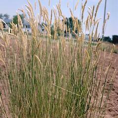 Plant form: Agropyron cristatum. ~ By Howard Schwartz. ~ Copyright © 2020 CC BY-NC 3.0. ~  ~ Bugwood - www.bugwood.org/