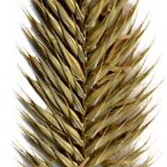 Inflorescences: Agropyron cristatum. ~ By Anna Gardner. ~ Copyright © 2020. ~ dlewis[at]ias.edu ~ Ada Hayden Herbarium - Iowa State U.