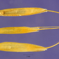 Spikelets: Agrostis canina. ~ By Jose Hernandez. ~  Public Domain. ~  ~ USDA-NRCS Plants Database - plants.usda.gov/java/