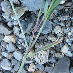 Stems and sheaths: Agrostis canina. ~ By Jill Weber. ~ Copyright © 2021 Jill Weber. ~ jillweber03[at]gmail.com