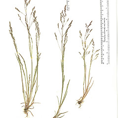 Plant form: Agrostis elliottiana. ~ By Arizona State Herbarium. ~ Copyright © 2020 Arizona State Herbarium. ~ Leslie Landrum, les.landrum[at]asu.edu ~ Southwest Environmental Information Network - swbiodiversity.org/seinet/imagelib/index.php