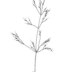 Inflorescences: Agrostis elliottiana. ~ By Mary Barkworth. ~ Copyright © 2020 Mary Barkworth. ~ Mary.Barkworth[at]usu.edu ~ Manual of Grasses for North America
