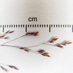 Spikelets: Agrostis mertensii. ~ By Donald Cameron. ~ Copyright © 2020 Donald Cameron. ~ No permission needed for non-commercial uses, with proper credit