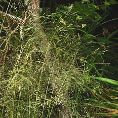 Plant form: Agrostis scabra. ~ By Glen Mittelhauser. ~ Copyright © 2021 Glen Mittelhauser. ~ www.mainenaturalhistory.org