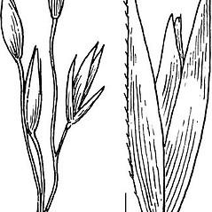Spikelets: Agrostis scabra. ~ By Elsie Froeschner. ~ Copyright © 2021 Ellen L. Froeschner. ~ Ellen L. Froeschner, 1939-A Frankin Blvd., Carmel Indiana 46032 ~ Ada Hayden Herbarium - Iowa State U.