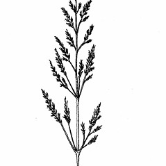 Inflorescences: Agrostis stolonifera. ~ By Elizabeth Farnsworth. ~ Copyright © 2020 New England Wild Flower Society. ~ Image Request, images[at]newenglandwild.org