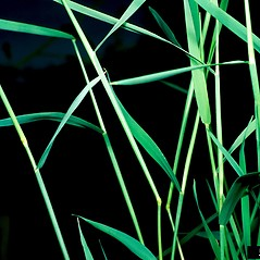 Leaves: Agrostis stolonifera. ~ By Barry Rice. ~ Copyright © 2021 CC BY-NC 3.0. ~  ~ Bugwood - www.bugwood.org/