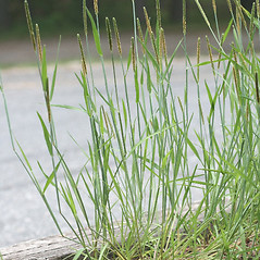 Plant form: Alopecurus aequalis. ~ By Arieh Tal. ~ Copyright © 2021 Arieh Tal. ~ http://botphoto.com/ ~ Arieh Tal - botphoto.com