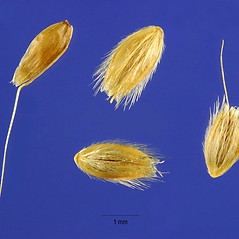 Spikelets: Alopecurus carolinianus. ~ By Steve Hurst. ~  Public Domain. ~  ~ USDA-NRCS Plants Database - plants.usda.gov/java/