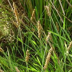 Inflorescences: Alopecurus geniculatus. ~ By Glen Mittelhauser. ~ Copyright © 2020 Glen Mittelhauser. ~ www.mainenaturalhistory.org