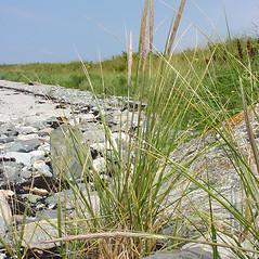 Plant form: Ammophila breviligulata. ~ By Glen Mittelhauser. ~ Copyright © 2020 Glen Mittelhauser. ~ www.mainenaturalhistory.org