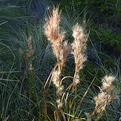 Plant form: Andropogon glomeratus. ~ By Max Licher. ~ Copyright © 2020 Max Licher. ~ mlicher[at]wildapache.net ~ Southwest Environmental Information Network - swbiodiversity.org/seinet/imagelib/index.php