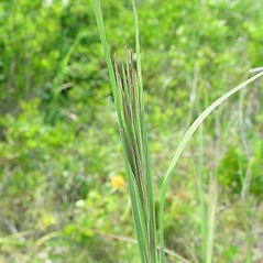 Inflorescences: Andropogon glomeratus. ~ By Arthur Haines. ~ Copyright © 2020. ~ arthurhaines[at]wildblue.net