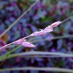 Spikelets: Anthoxanthum monticola. ~ By Arthur Haines. ~ Copyright © 2020. ~ arthurhaines[at]wildblue.net