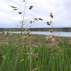 Plant form: Anthoxanthum nitens. ~ By Marilee Lovit. ~ Copyright © 2021 Marilee Lovit. ~ lovitm[at]gmail.com