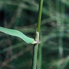 Stems and sheaths: Anthoxanthum odoratum. ~ By Joseph DiTomaso. ~ Copyright © 2021 CC BY-NC 3.0. ~  ~ Bugwood - www.bugwood.org/