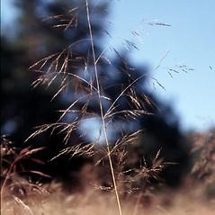 Inflorescences: Apera spica-venti. ~ By Barbara Tokarska-Guzik. ~ Copyright © 2020 CC BY-NC 3.0. ~  ~ Bugwood - www.bugwood.org/
