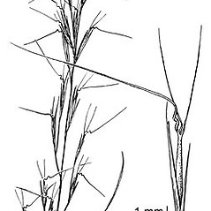 Inflorescences: Aristida basiramea. ~ By Elsie Froeschner. ~ Copyright © 2021 Ellen L. Froeschner. ~ Ellen L. Froeschner, 1939-A Frankin Blvd., Carmel Indiana 46032 ~ Ada Hayden Herbarium - Iowa State U.