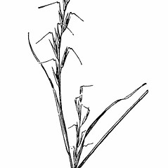 Inflorescences: Aristida dichotoma. ~ By Agnes Chase. ~  Public Domain. ~ None needed ~ A.S. Hitchcock. 1950. Manual of Grasses of the United States (2nd edition rev. Agnes Chase), USDA Misc. Pub. 200