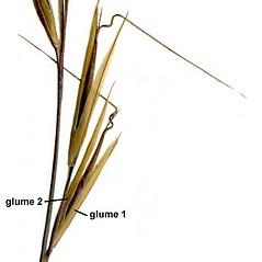 Spikelets: Aristida dichotoma. ~ By Anna Gardner. ~ Copyright © 2020. ~ dlewis[at]ias.edu ~ Ada Hayden Herbarium - Iowa State U.