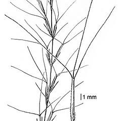 Inflorescences: Aristida longespica. ~ By Elsie Froeschner. ~ Copyright © 2021 Ellen L. Froeschner. ~ Ellen L. Froeschner, 1939-A Frankin Blvd., Carmel Indiana 46032 ~ Ada Hayden Herbarium - Iowa State U.