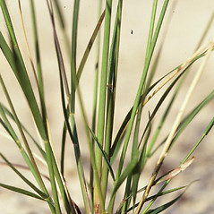 Leaves: Aristida purpurascens. ~ By James Miller. ~ Copyright © 2021 CC BY-NC 3.0. ~  ~ Bugwood - www.bugwood.org/