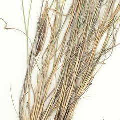 Stems and sheaths: Aristida purpurea. ~ By William and Linda Steere and the C.V. Starr Virtual Herbarium. ~ Copyright © 2021 William and Linda Steere and the C.V. Starr Virtual Herbarium. ~ Barbara Thiers, Director; bthiers[at]nybg.org ~ C.V. Starr Herbarium - NY Botanical Gardens