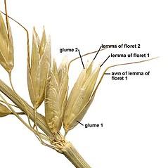 Spikelets: Arrhenatherum elatius. ~ By Anna Gardner. ~ Copyright © 2020. ~ dlewis[at]ias.edu ~ Ada Hayden Herbarium - Iowa State U.