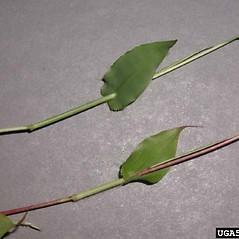 Leaves: Arthraxon hispidus. ~ By Leslie Mehrhoff. ~ Copyright © 2020 CC BY-NC 3.0. ~  ~ Bugwood - www.bugwood.org/