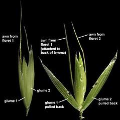 Spikelets: Avena fatua. ~ By Anna Gardner. ~ Copyright © 2021. ~ dlewis[at]ias.edu ~ Ada Hayden Herbarium - Iowa State U.