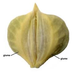Spikelets: Beckmannia syzigachne. ~ By Anna Gardner. ~ Copyright © 2021. ~ dlewis[at]ias.edu ~ Ada Hayden Herbarium - Iowa State U.