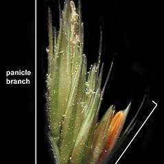 Spikelets: Bouteloua curtipendula. ~ By Anna Gardner. ~ Copyright © 2020. ~ dlewis[at]ias.edu ~ Ada Hayden Herbarium - Iowa State U.