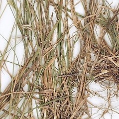 Leaves: Bouteloua repens. ~ By William and Linda Steere and the C.V. Starr Virtual Herbarium. ~ Copyright © 2019 William and Linda Steere and the C.V. Starr Virtual Herbarium. ~ Barbara Thiers, Director; bthiers[at]nybg.org ~ C.V. Starr Herbarium - NY Botanical Gardens