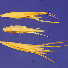 Spikelets: Bouteloua repens. ~ By Jose Hernandez. ~  Public Domain. ~  ~ USDA-NRCS Plants Database - plants.usda.gov/java/