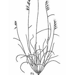 Plant form: Bouteloua rigidiseta. ~ By Mary Barkworth. ~ Copyright © 2021 Mary Barkworth. ~ Mary.Barkworth[at]usu.edu ~ Manual of Grasses for North America
