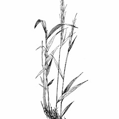 Plant form: Brachyelytrum erectum. ~ By Agnes Chase. ~  Public Domain. ~ None needed ~ A.S. Hitchcock. 1950. Manual of Grasses of the United States (2nd edition rev. Agnes Chase), USDA Misc. Pub. 200