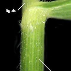 Ligules: Brachyelytrum erectum. ~ By Anna Gardner. ~ Copyright © 2020. ~ dlewis[at]ias.edu ~ Ada Hayden Herbarium - Iowa State U.
