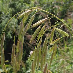 Inflorescences: Bromus ciliatus. ~ By Marilee Lovit. ~ Copyright © 2021 Marilee Lovit. ~ lovitm[at]gmail.com
