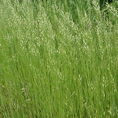 Plant form: Bromus hordeaceus. ~ By Robert Vid_ki. ~ Copyright © 2021 CC BY-NC 3.0. ~  ~ Bugwood - www.bugwood.org/