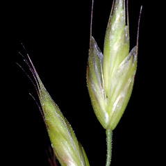 Spikelets: Bromus hordeaceus. ~ By Gerry Carr. ~ Copyright © 2021 Gerry Carr. ~ gdcarr[at]comcast.net ~ Oregon Flora Image Project - www.botany.hawaii.edu/faculty/carr/ofp/ofp_index.htm